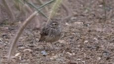 Indochinese Bush Lark