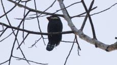 Dusky Broadbill
