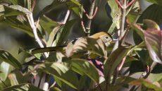 Chestnut-tailed Minla