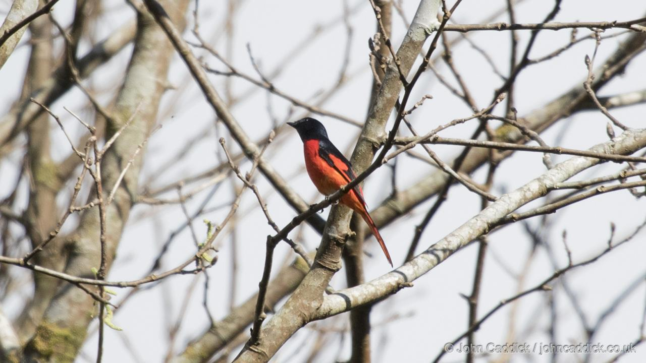 Short-billed Minivet adult male