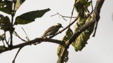 Common Woodshrike