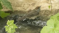 Eurasian Blackcap adult female