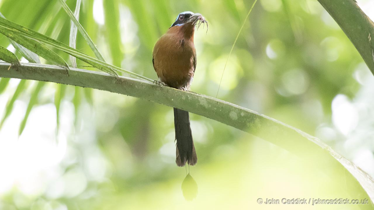 Trinidad Motmot Momotus bahamensis with its prey