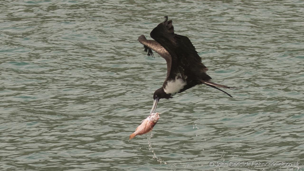 Magnificent Frigatebird taking a fish from the water