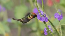 Adult male Tufted Coquette