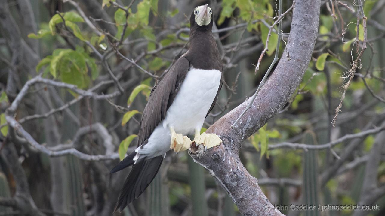 Female Brown Booby