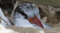 Red-billed Tropicbird on the nest