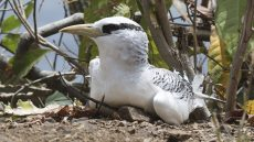 Juvenile Red-billed Tropicbird