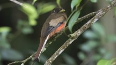 Adult female Collared Trogon