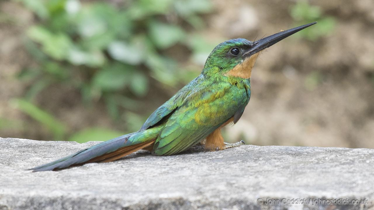 Adult female Rufous-tailed Jacamar