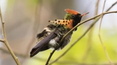 Tufted Coquette
