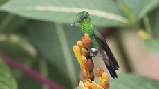 Adult Copper-rumped Hummingbird