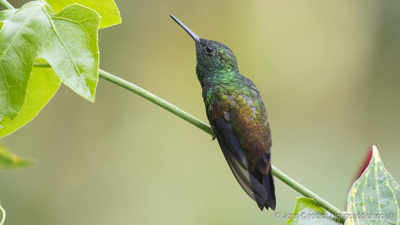 Copper-rumped Hummingbird perched