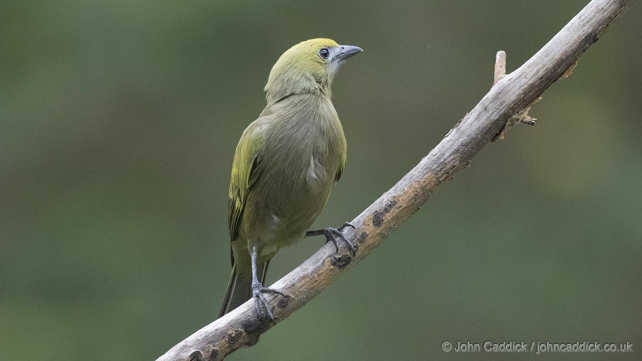Adult Palm Tanager