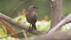 Female Shiny Cowbird