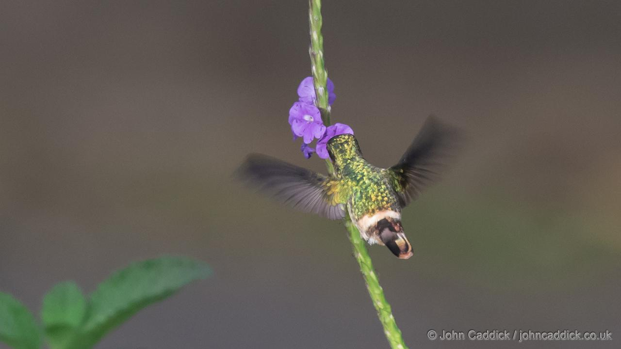 Female Tufted Coquette feeding