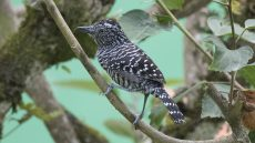 Male Barred Antshrike
