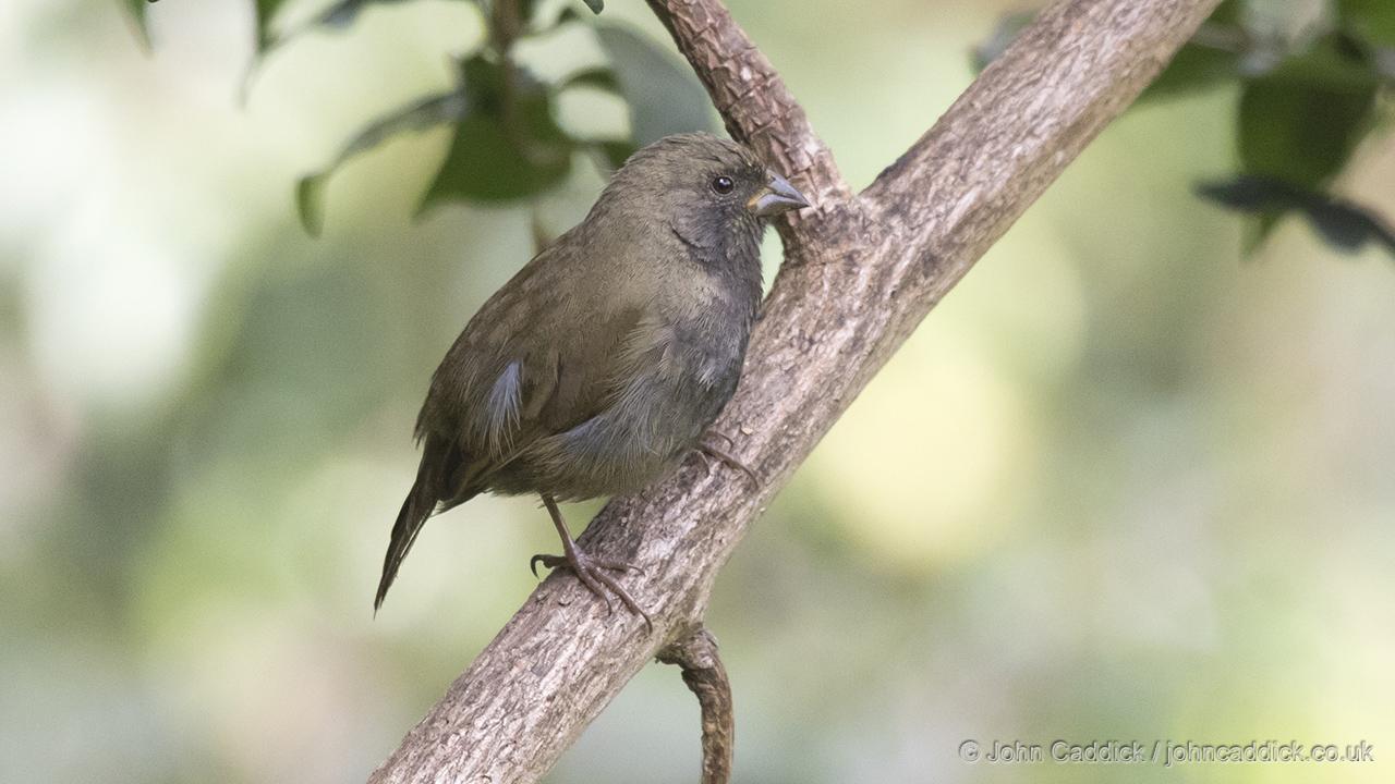 Black-faced Grassquit male