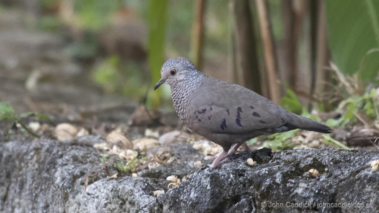Common Ground Dove - John Caddick   John Caddick