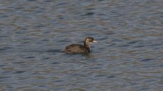 Juvenile Little Grebe