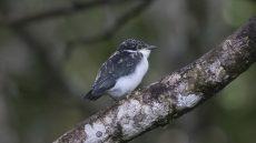 Chabert Vanga fledgling