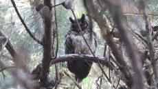 Madagascar Owl