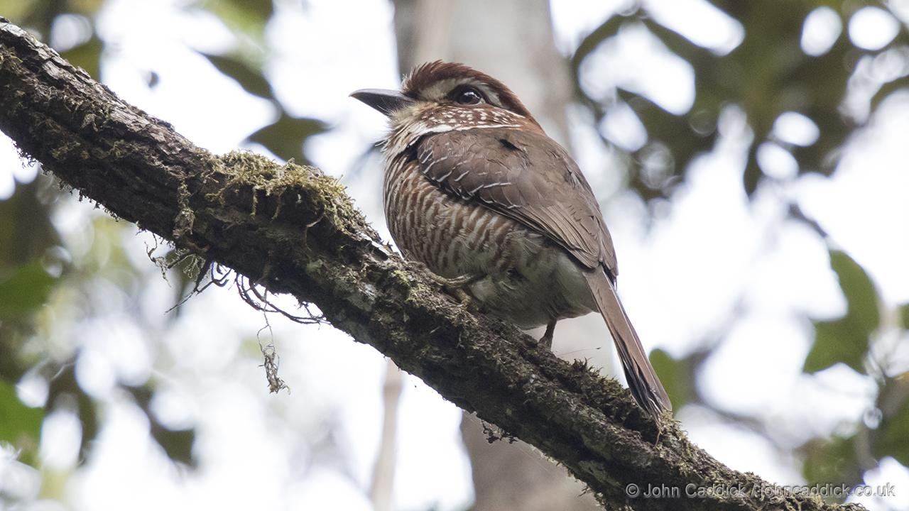 Short-legged Ground Roller