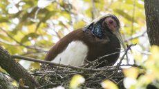 Madagascar Ibis adult