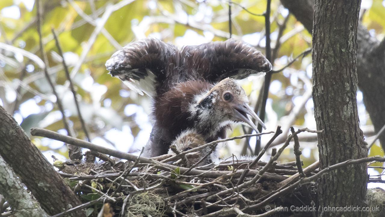 Madagascar Ibis nestling