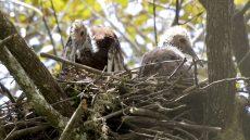 Madagascar Ibis nestlings