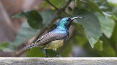 Souimanga Sunbird male