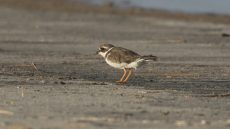 Common Ringed Plover non-breeding