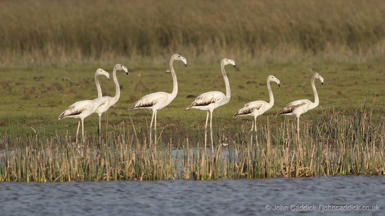 Greater Flamingo immature