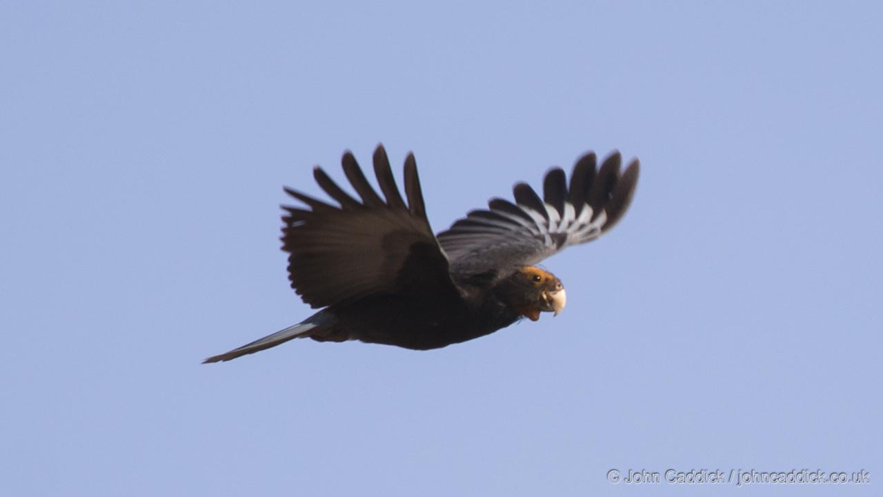 Greater Vasa Parrot female in flight