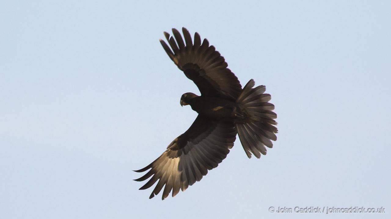 Greater Vasa Parrot male in flight