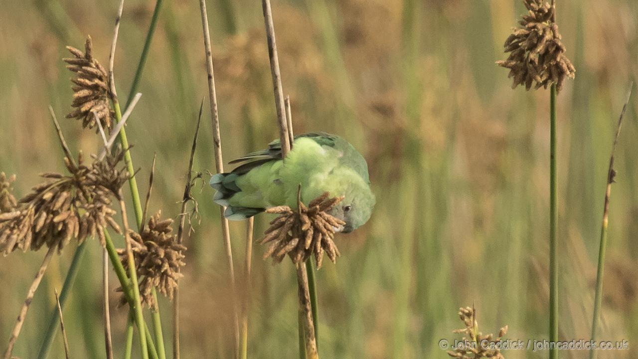 Grey-headed Lovebird female