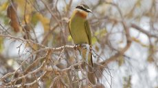 Olive Bee-eater juvenile