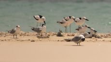 Crab-plovers resting on sandbank