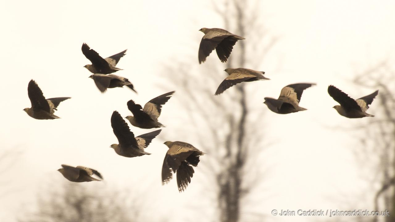 Madagascar Sandgrouse flock