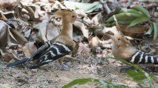Madagascar Hoopoe with juvenile