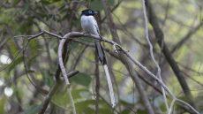 Malagasy Paradise Flycatcher male
