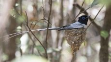 Malagasy Paradise Flycatcher male on nest