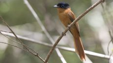 Malagasy Paradise Flycatcher rufous morph