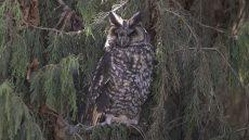 Abyssinian Owl