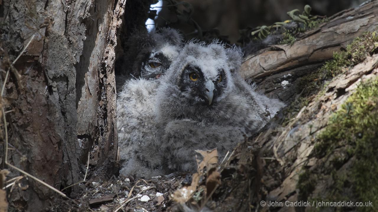 Abyssinian Owl chicks