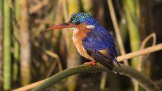Malachite Kingfisher at Lake Hawassa