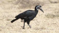 Abyssinian Ground Hornbill female