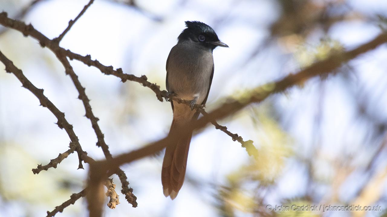 African Paradise Flycatcher female