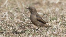 Grey-capped Social Weaver juvenile