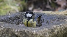Great Tit in the bird bath